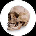 Referentie Schedels van Skull Shoppe